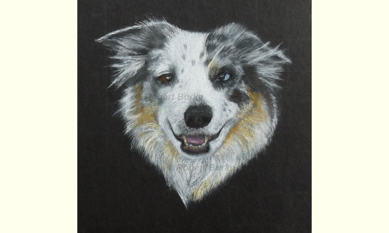 Pastels Portrait of my Border Collie Saffy